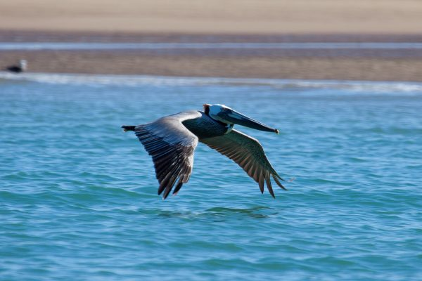 Bird flying over the Sea of Cortez